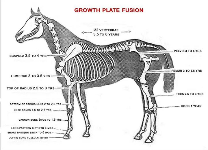 Equine Growth Plate Fusion Chart Sunset Acres